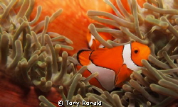 clown fish in anemone by Tony Ronald 